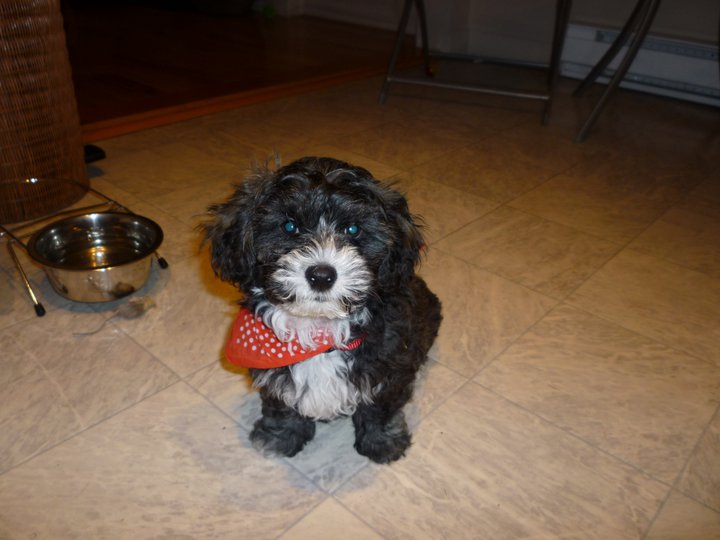 Shih-Poo Puppies | Waters at 2 Months