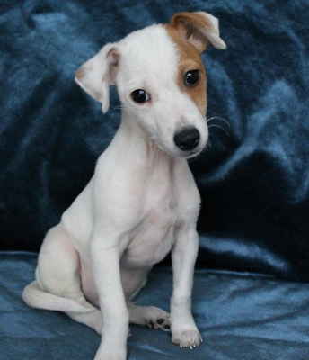 Luke, a Jack Russell Puppy, is Waiting to be Big Enough to Get His Collar