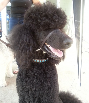 Wonderful Poodle at the Dundas Cactus Festival with her New Jumbo Turquoise Leather Collar