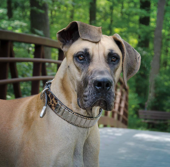 Great Dane dog on leash dog collar